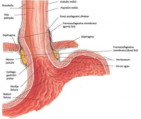 Anatomija3